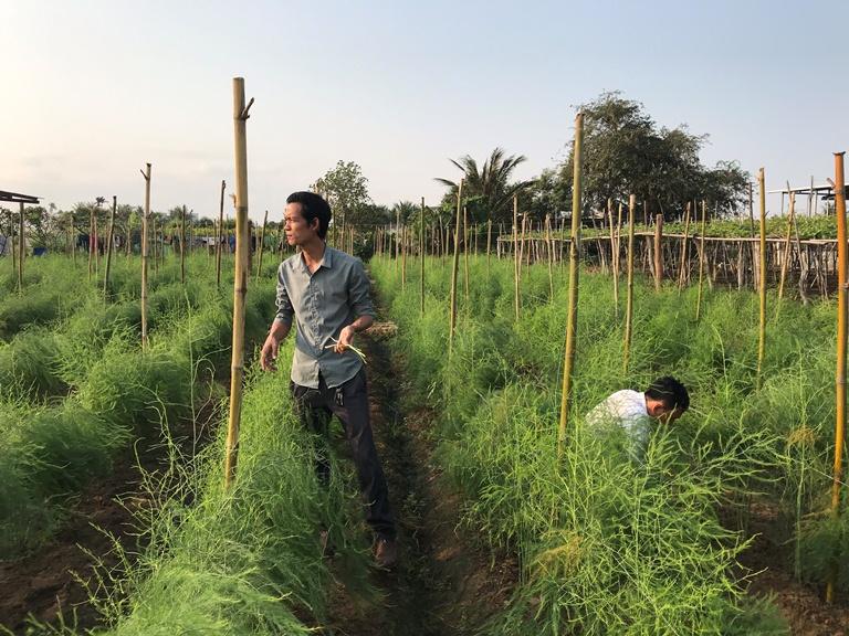 Mô hình măng tây của Công ty TNHH Măng Tây Quốc Cường Ninh Thuận sử dụng phân bón Hữu cơ vi sinh Nhật của Công ty GFA nhập khẩu, được đánh giá cho năng suất, chất lượng, kinh tế vượt trội so với đối chứng.