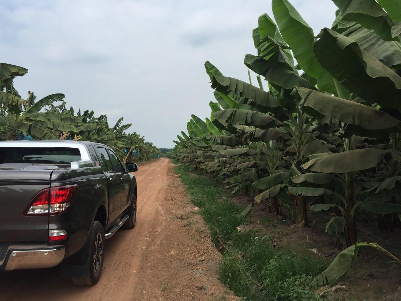 Vườn chuối 30 ha Gia Lai sử dụng hiệu quả phân bón GFA