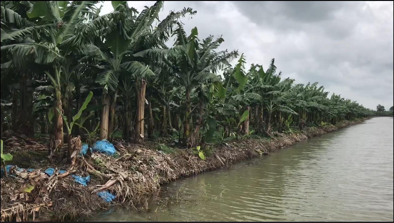 Vườn chuối 4 năm diện tích 87 ha sử dụng bộ sản phẩm phân bón GFA tiết kiệm chi phí đầu tư, hiệu qủa