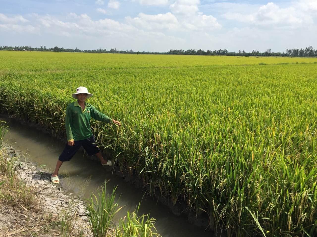 Lúa Anh Xuân - ND Cờ Đỏ - TP Cần Thơ sử dụng GFA được đánh giá hiệu quả cao