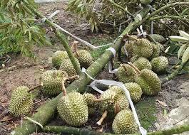 Kinh nghiệm chăm sóc cây sầu riêng sau mưa bão tại Lâm Đồng